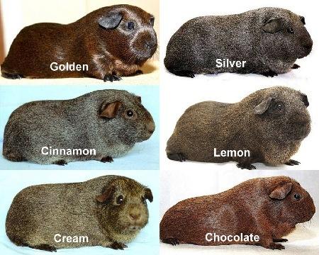 Свинки агути - окрасы