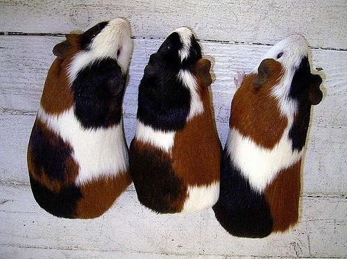 Свинки Тортики - трехцветная порода