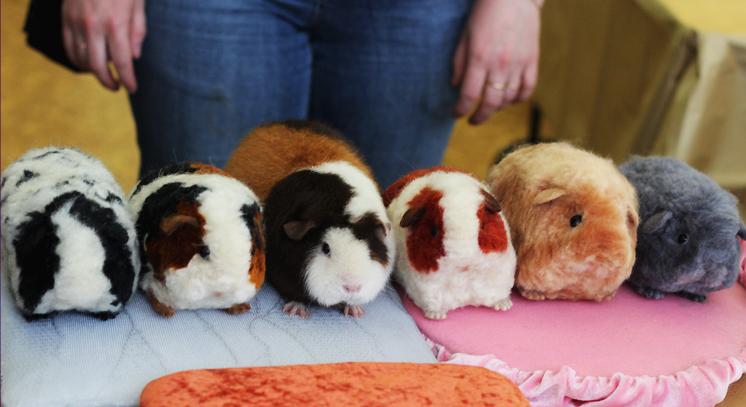 Порода морскими свинками в домашних условиях