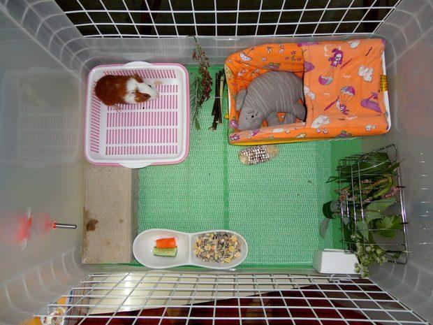 Туалет в клетке морской свинки