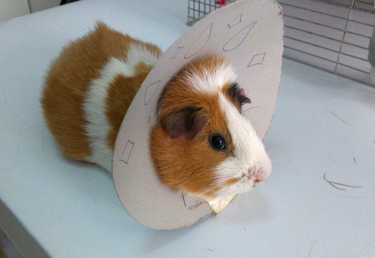 Морская свинка после операции