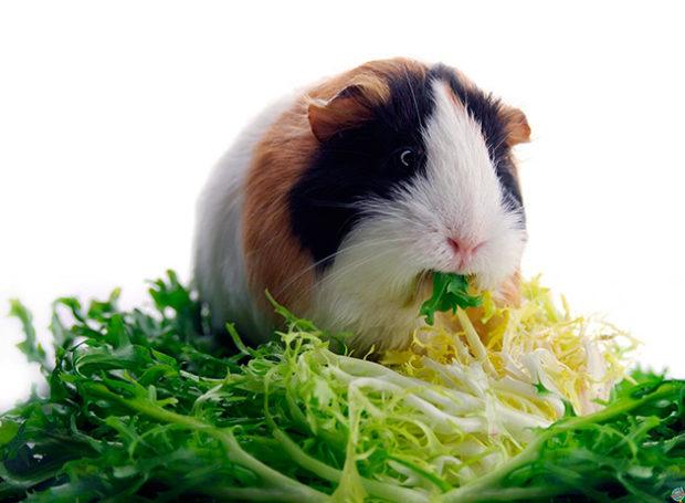 Зелень салата - любимое лакомство
