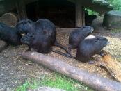 Черная порода нутрий - разведение