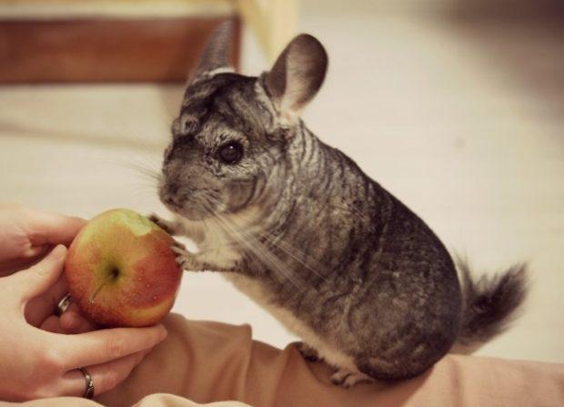 Яблоки - любимое лакомство для шиншилл