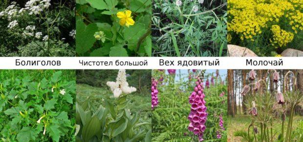 Ядовитые растения для шиншилл