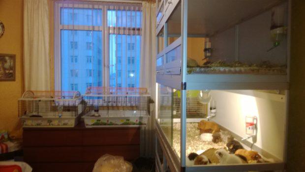 Клетки со свинками в квартире