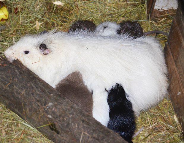 Нутрия кормит малышей - соски на боках