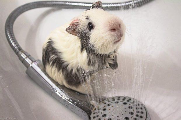 Некоторые морские свинки очень любят купаться