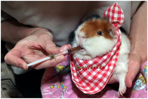 Линекс для свинок дают через шприц