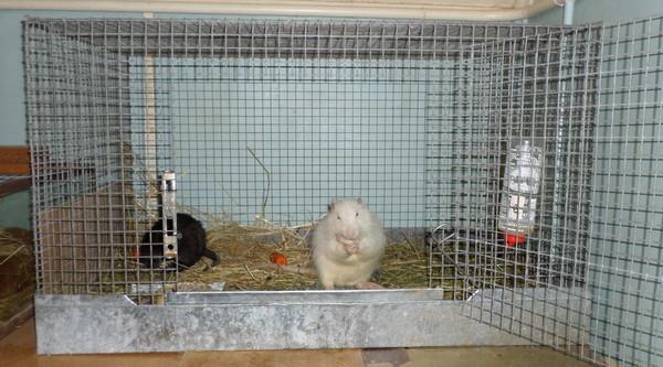 Нутрии в квартире содержат в клетке