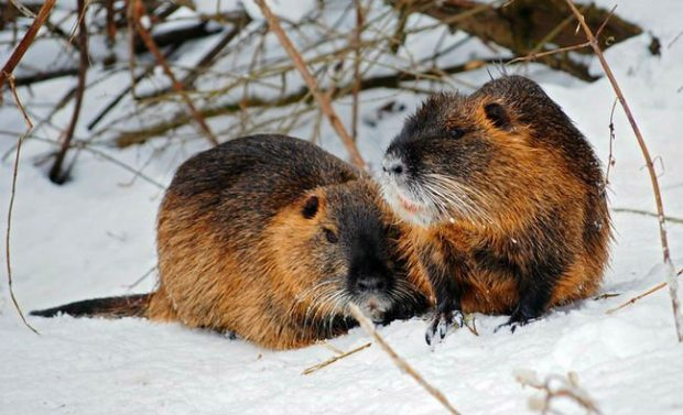 Нутрии зимой могут обморозиться