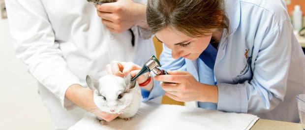 Осмотр ветеринара поможет диагностировать и вылечить зверька