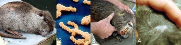 Заболевания: 1 - паратиф, 2- стрептококкоз, пастерелез, кожные паразиты