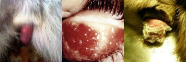 Половые болезни у нутрии