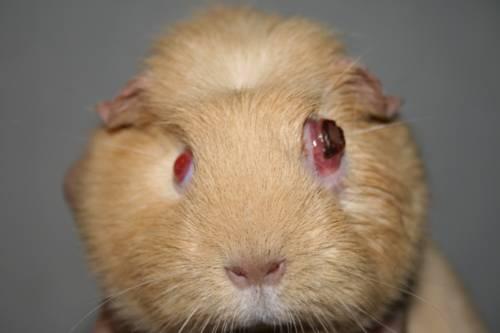 Повреждение глаза у морской свинки