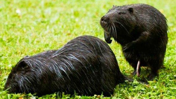 Самец и самка нутрии