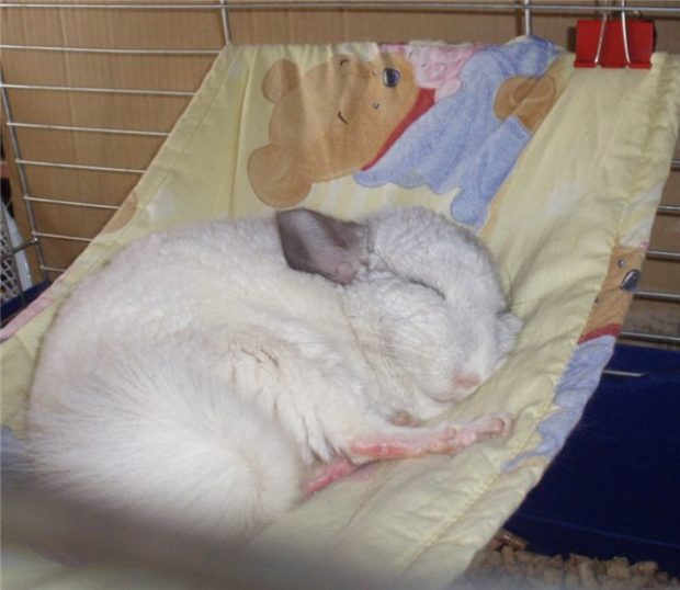 Шиншилла спит в гамачке