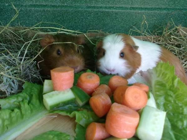 Рацион свинки должен содержать овощи и фрукты
