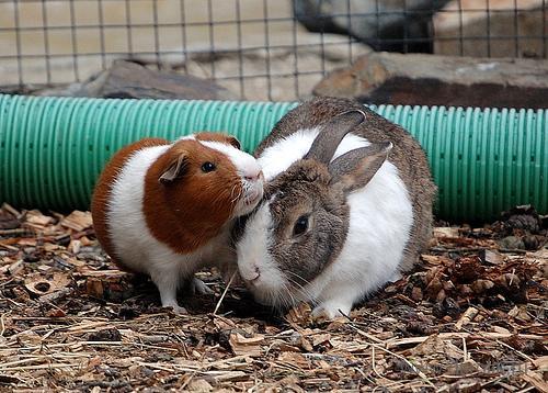 Свинка и кролик хорошо уживаются вместе