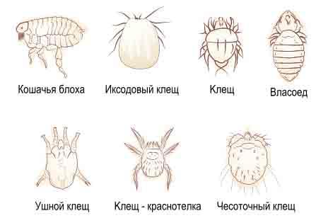 Виды кожных паразитов