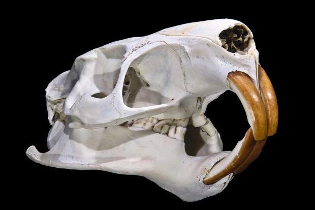 Зубы нутрии с возрастом стают оранжевыми