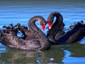 Черные лебеди - красивые птицы