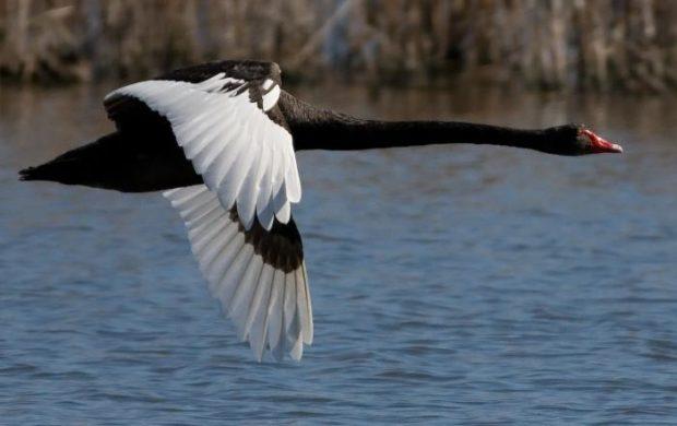 Полет черного лебедя