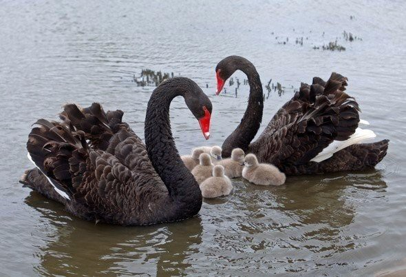 Семья черных лебедей