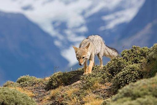 Койоты - враги шиншилл в природе