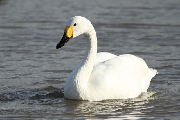 Малый лебедь на воде