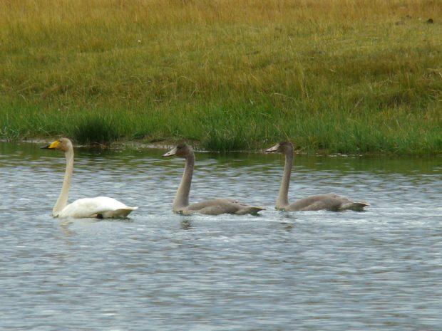 Молодые лебеди серого цвета