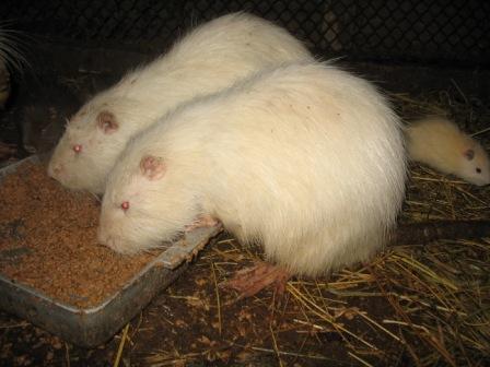 Нутрии альбинос редко доживают до взрослых