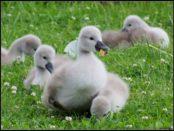 Птенцы лебедя в 1 неделю