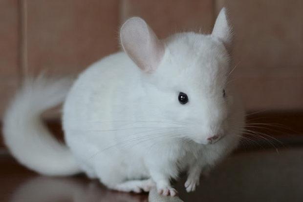 Полностью белая порода