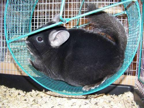 Сеточное колесо для шиншиллы