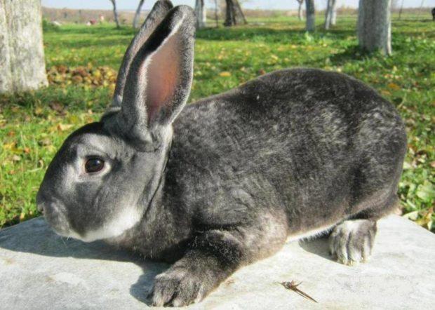 Кролик шиншилла рекс