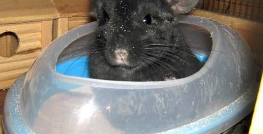 Шиншилла в купалке из пластика