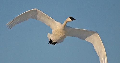 Лебедь-трубач в полете