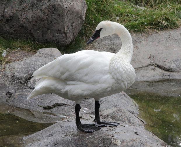 Общий вид лебедя трубача
