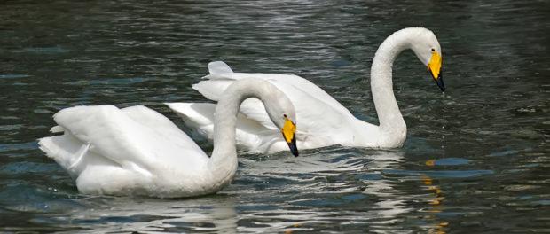 Тундровый лебедь - пара