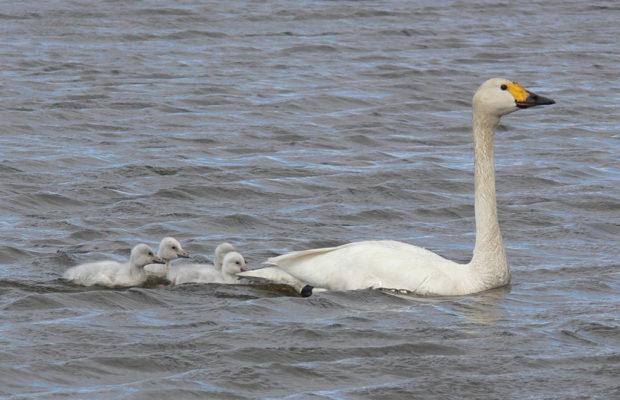 Тундровый лебедь с птенцами на воде