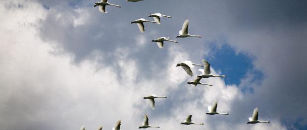 Американские лебеди в полете