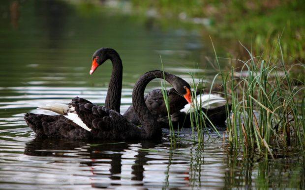 Черные лебеди не перелетные