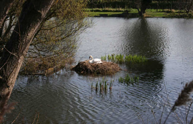 Гнездо лебедя на воде