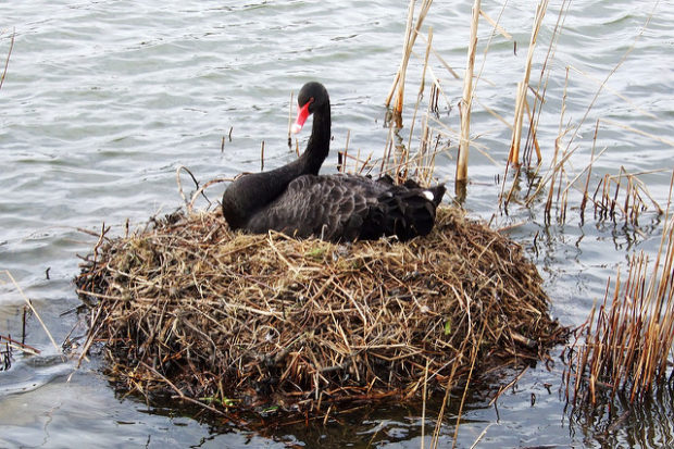 Гнездо черного лебедя в природе на воде