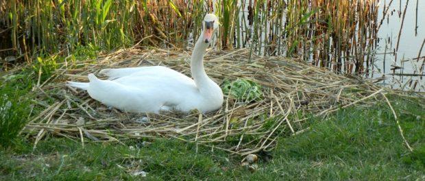 Гнездо лебедя у водоема