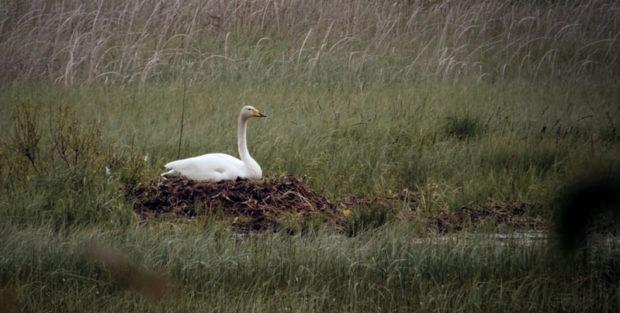 Гнездо лебедя в природе