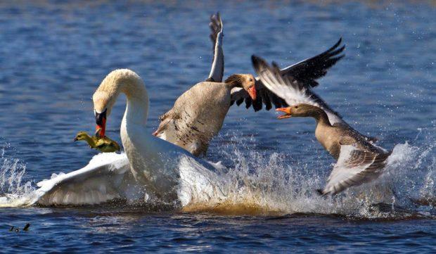 Лебедь и гуси