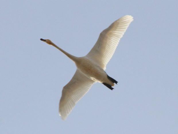Лебедь кликун летит