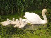 Семья лебедей кормится